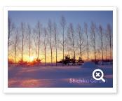 白樺並木と朝日に染まる雪原