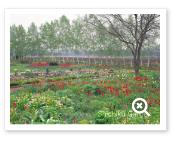 チューリプが咲く早春のガーデン